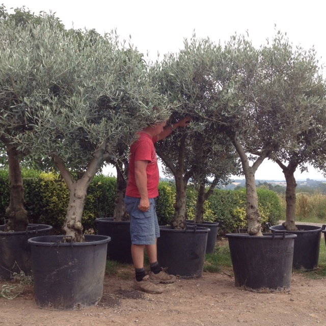 buy olive to trees mature